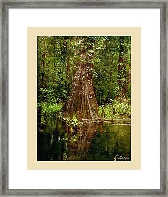 Cypress Roots Ichetucknee Framed Print by Linda Olsen