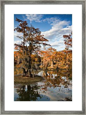 Cypress Rust Framed Print by Lana Trussell