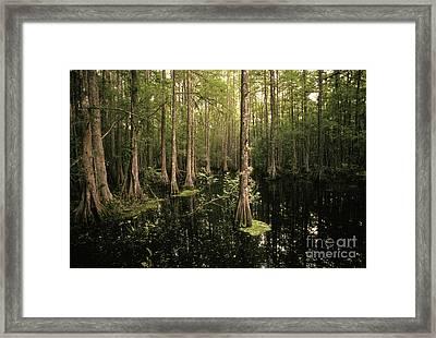 Cypress Swamp Framed Print by Ron Sanford