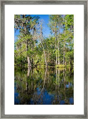Cypress Swamp Framed Print by Steve Harrington