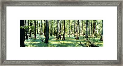 Cypress Trees In A Forest, Shawnee Framed Print by Panoramic Images