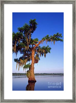 Cypress With Spanish Moss Framed Print by Thomas R Fletcher