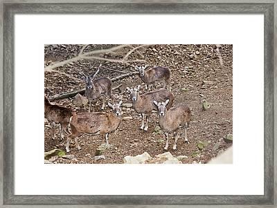 Cyprus Mouflons Framed Print