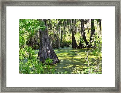 Cyprus Trees Framed Print by Patricia Greer