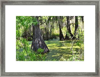 Cyprus Trees Framed Print