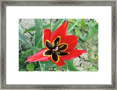 Cyprus Tulip (tulipa Agenensis) Flower Framed Print by Bob Gibbons