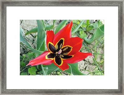 Cyprus Tulip (tulipa Agenensis) Flower Framed Print