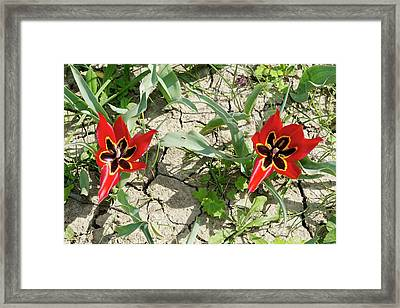 Cyprus Tulip (tulipa Agenensis) Flowers Framed Print