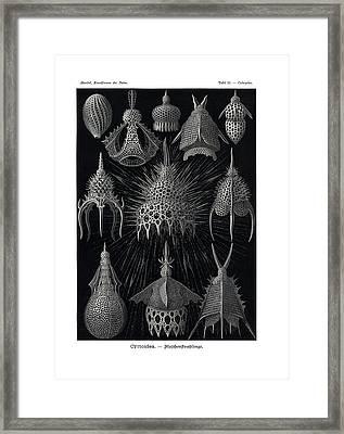 Cyrtoidea Framed Print by Ernst Haeckel