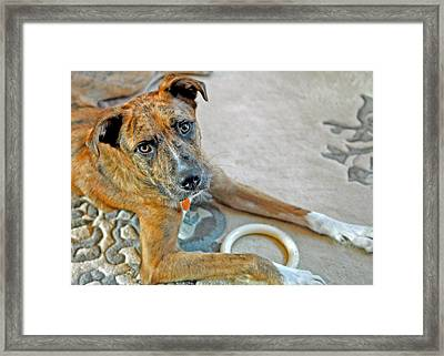 Cyrus Framed Print by Lisa Phillips