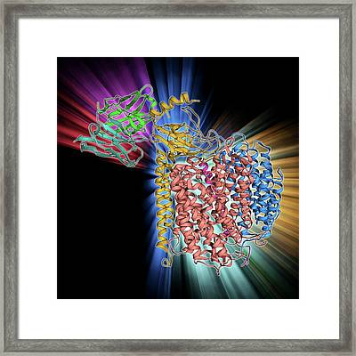 Cytochrome C Oxidase And Antibody Framed Print by Laguna Design