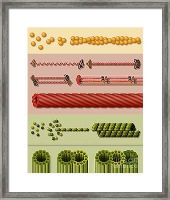 Cytoskeleton Components Framed Print