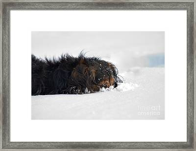 Dachshund In The Snow Framed Print