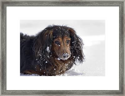 Dachshund In The Winter Framed Print