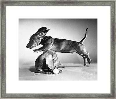 Dachshund Puppies Playing Framed Print by ME Browning