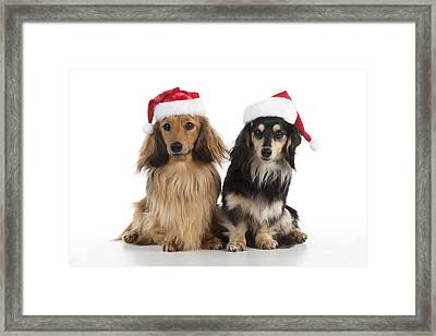 Dachshunds In Christmas Hats Framed Print