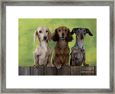 Dachshunds Looking Over Fence Framed Print by John Daniels