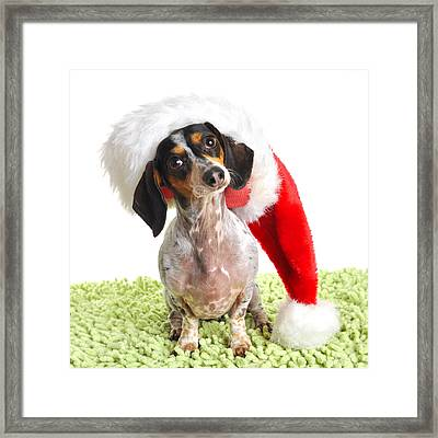 Dachsund Weiner Dog In Santa Hat Framed Print by Rebecca Brittain