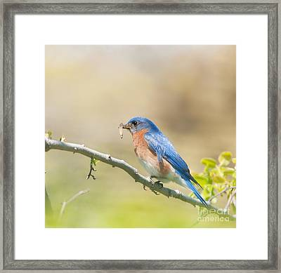 Daddy Bluebird Framed Print