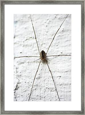 Daddy-long-legs Spider Framed Print by Ian Gowland