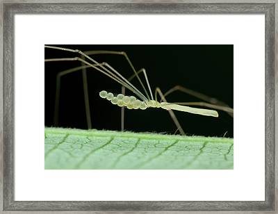 Daddy Long Legs Spider With Eggs Framed Print by Melvyn Yeo