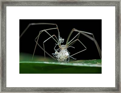 Daddy Long-legs Spider With Spiderlings Framed Print by Melvyn Yeo