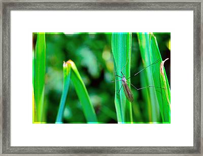 Daddy Long Legs  Framed Print by Tommytechno Sweden