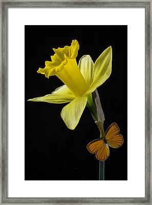 Daffodil And Butterfly Framed Print by Garry Gay