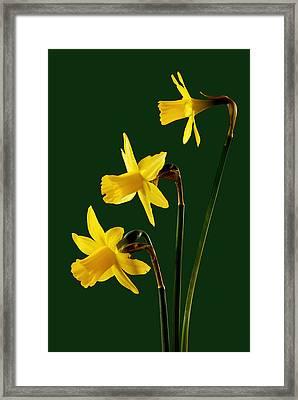 Daffodil Arrangment Framed Print by Pete Hemington
