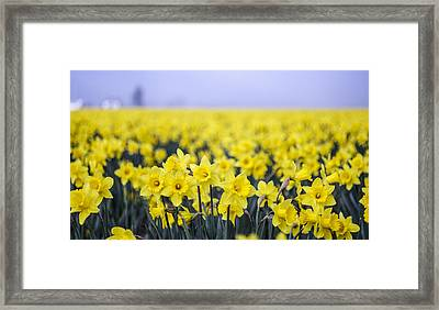 Daffodil Blur Framed Print