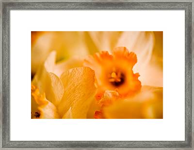 Daffodil Bouquet Framed Print by John Holloway