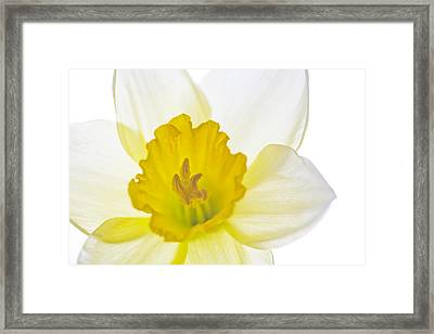 Daffodil Bright Framed Print