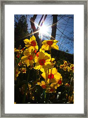 Framed Print featuring the photograph Daffodil Days by Richard Stephen