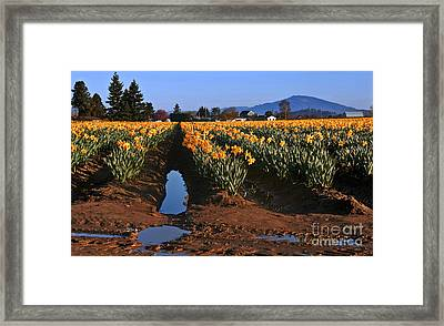 Daffodil Field After A Spring Rain Framed Print