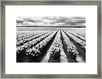Daffodil Fields II Framed Print
