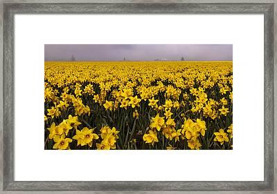 Daffodil Fields Of Fog Framed Print