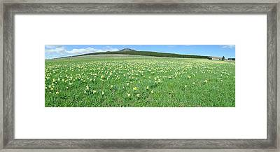 Daffodil Flowers In A Field, Les Framed Print by Panoramic Images