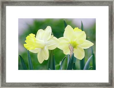 Daffodil Flowers (narcissus Sp.) Framed Print by Maria Mosolova/science Photo Library