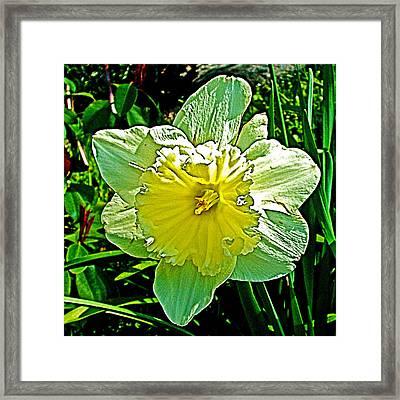 Daffodil In Park Sierra Near  Coarsegold-california  Framed Print by Ruth Hager