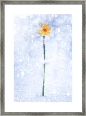 Daffodil In Snow Framed Print by Joana Kruse