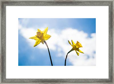 Daffodil In Spring  Framed Print by Shelby  Young