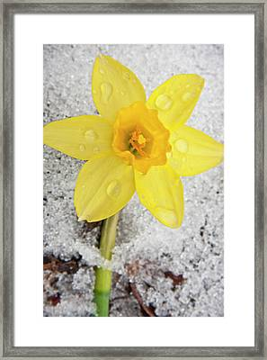 Daffodil In Spring Snow Framed Print