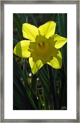 Daffodil In The Shadow Of Himself Framed Print by Sascha Kolek