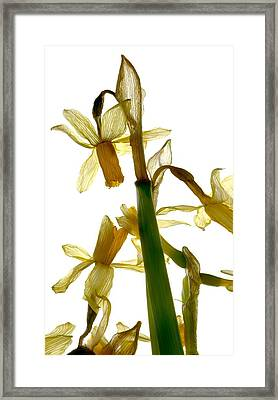 Daffodil Framed Print by Julia McLemore