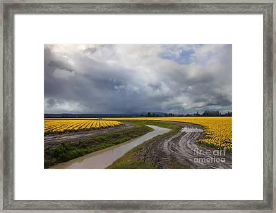Daffodil Lane Framed Print by Mike  Dawson