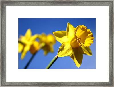 Daffodil Line Framed Print by Sarah OToole