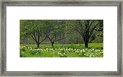 Daffodil Meadow Framed Print by Ann Horn