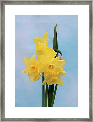 Daffodil (narcissus 'quail') Framed Print by Brian Gadsby/science Photo Library