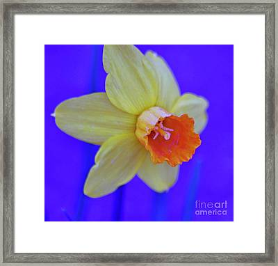 Framed Print featuring the photograph Daffodil On Blue by Juls Adams