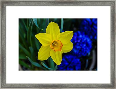 Framed Print featuring the photograph Daffodil by Phil Abrams